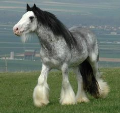 the breed is Irish Cob or Gypsy; the flowing manes and tails are gorgeous and this roan - just beautiful!
