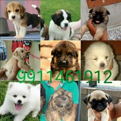 We have All type Dogs Breed Puppies  For Sell Any more Details Call me Now 9711272629