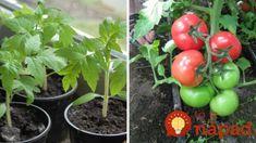 Farmár použil starodávny zlepšovák pri pestovaní paradajok: Vďaka starému chlebíku porastú ako z vody!