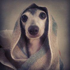 Italian Greyhound After Bath. SnapWidget | Instagram Photo Gallery Widget.