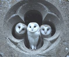 three young barn owls in the quatrefoil of a church | photo: richard brooks