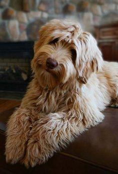 Australian Labradoodle Puppies - Daisy Hill Australian Labradoodles - Available Puppies