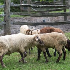 hog island sheep animals we want to see more of pinterest