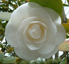 One of my favorite flowers. The Camellia