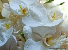 Gorgeous Phalaenopsis Orchids - James Walton Photo