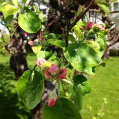 Appletree in blossom