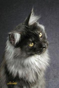 black maine coon | QUIN -- Black Smoke Maine Coon Cat - photo copyright Helmi Flick