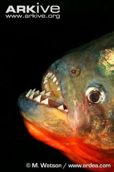 Red-bellied piranha showing teeth