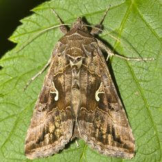 Silver Y Moth The Silver Y is a migratory moth of the family Noctuidae which is named for the silvery Y‑shaped mark on each of its forewings.