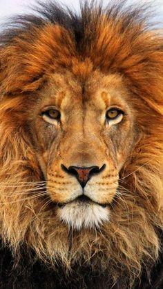 1080x1920 Wallpaper face, eyes, lion, fur, mane