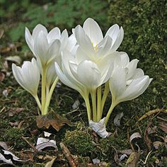 "Autumn Crocus or Meadow Saffron (Colchicum speciosum) In the language of flowers: ""My happy days are past."""