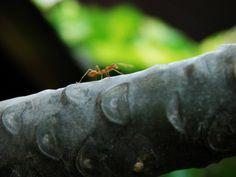 Thaja -mravenec