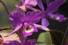 monteverde orchid garden purple orchid   - Costa Rica
