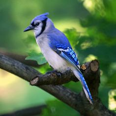 Blue Jay... Noise and the Neighbor Hood Bully. They can clear a peaceful setting at a feeder in an instant. But they are striking and beautiful to look at non the less.