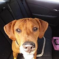 Pictures of Chevy a Coonhound for adoption in Lagrange, IN who needs a loving home.