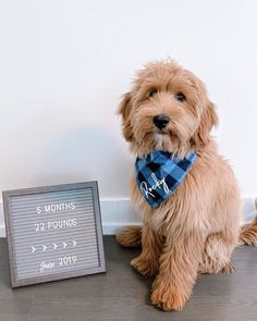 Don't Look Anywhere Else Until You Read These Great Tips About Gold – Gold Goldendoodle Full Grown, Goldendoodle Miniature, Goldendoodle Grooming, Mini Goldendoodle Puppies, Cavapoo, Standard Goldendoodle, Goldendoodle Haircuts, Labradoodles, Cute Puppies