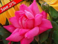 http://www.greatgardenplants.com/index.php?pageId=142&utm_source=New+%26+Existing+Subscribers&utm_campaign=de0c0da220-2_23_2012_DOW_Best_Landscape_Rose_Ever&utm_medium=email    I might try these for the outer areas of the property. They seem like a cheat to rosarians. I have 45 regular rose bushes already but I might try this.