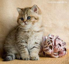 British kitten golden shaded Brassika Peppercats