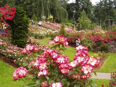 Portland's International Rose Test Garden - amazing! Lots of geocaching in the area too!