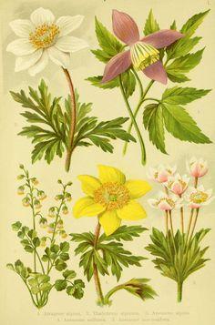 Alpen-Flora für Touristen und Pflanzenfreunde Stuttgart :Verlag für Naturkunde Sprösser & Nägele,1904. biodiversitylibrary.org/page/10384023