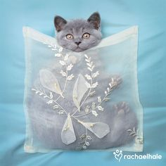 Blue Pearl (British Shorthair) - Blue Pearl thinks everyone should line their pockets with love.