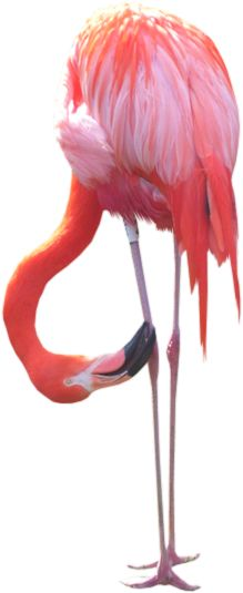(F) is for Flamingos Flamingo Beach, Flamingo Art, Pink Flamingos, Tropical Birds, Exotic Birds, Cute Animals, Animal Fun, Pink Bird, Pink Feathers