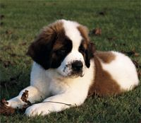 St. Bernard's are the cutest puppies ever! I want one!