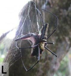 Ces araignées mangeuses de chauve-souris - 2Tout2Rien