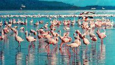 flamingosatlakenakuru  http://www.1-day-tours-in-kenya.com/kenya-day-tour-trips/nakuru-national-park-1-one-day-tours.html