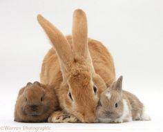 flemish giant rabbits | 33785-Flemish-Giant-Rabbit-and-baby-rabbits-white-background.jpg