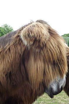 Poitou de Baudet donkey