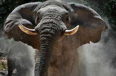 Voortrekker, legendary elephant, under threat in Namibia.