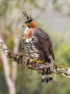 Foto gavião-de-penacho (Spizaetus ornatus) por Gabriel Mello | Wiki Aves - A Enciclopédia das Aves do Brasil