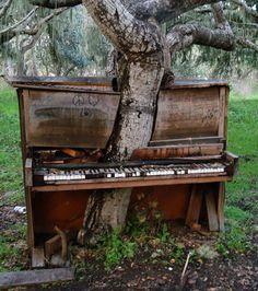 Un arbre a poussé à travers ce vieux piano, en Californie