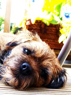 lazy border terrier by ~DropdeadDolly on deviantART