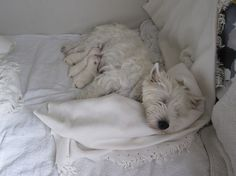 Westie mom with three puppies
