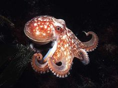 octopus photos - Google Search                                                                                                                                                                                 More