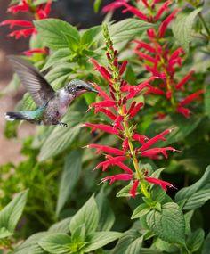 Hummingbird On Pineapple Sage http://bonnieplants.com/growing/growing-pineapple-sage/hummingbird-on-pineapple-sage-lo/