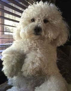 Bichon Dog, Maltese Dogs, Pet Puppy, Dog Cat, Perros French Poodle, Cute Puppies, Dogs And Puppies, Doggies, Cute Dogs Breeds