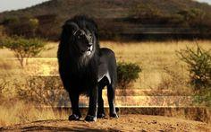 Leone nero - vero o falso?