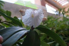 flor de caña de la india. DFC