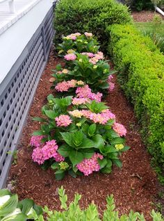 in my little formal garden - -Dwarf Hydrangea and Boxwood in my little formal garden - - Create great contrast with sweet potato vine and the Wave Purple Petunias Hydrangea Macrophylla Merritt's Supreme Front House Landscaping, Boxwood Garden, Hydrangea Landscaping, Landscaping Images, Luxury Landscaping, Garden Shrubs, Shade Garden, Dwarf Boxwood, Boxwood Planters