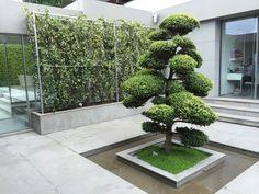 Ilex Crenata et mur de jasmins Zen Garden Floor, Terrace Garden, Garden Trees, Landscape Design, Garden Design, Emerald Green Arborvitae, Japan Garden, Side Garden, Low Maintenance Garden