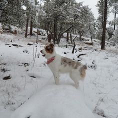 We were driving all day to San Diego so here's a picture from our snow day. Thank you so much for all the kind words on my post about Arya training to be a service dog. Your support means the world to me. I will do my best to write everyone back tomorrow!Walking in a winter wonderland #miniaussie #aussiesofinstagram #redmerle #dogsofinstagram #petstagram  #australianshepherd  #dogoftheday #doglover #dog_features #aplacetolovedogs  #sendadogphoto #lacyandpaws  #dogsofinstaworld…