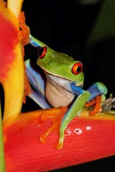 Red-eyed Tree Frog On Heliconia Costa