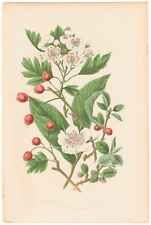Antique 1860 Anne Pratt Flowering Plants, Plate 72 Medlar, Hawthorn, etc