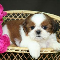 shih tzu puppies - Bing Images