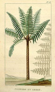 Palm, biodivlibrary, botanical illustration