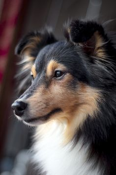 """spartathesheltie: """"Mailman took one look at her and said """"that's one of those expensive ones, isn't it."""" """""""