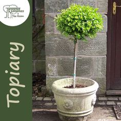 Buy Buxus sempervirens Lollipop (Common Box) online from Jacksons Nurseries Buxus Sempervirens, Topiary, Nurseries, Balcony, Box, Outdoor Decor, Plants, Babies Rooms, Snare Drum